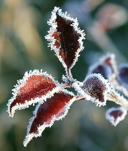 red-leaf-frost