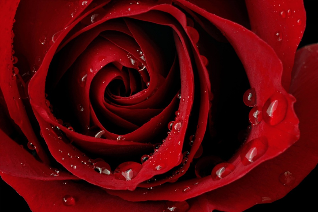 red-rose-droplets-flower-plain