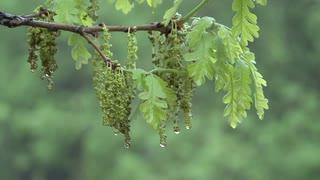 bur-oak-spring-catkins-rain-dew-water_vneoqqzqig__S0000