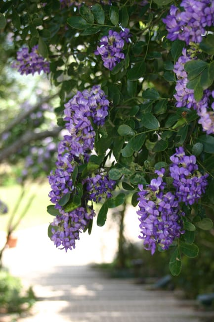 1488834788Mountain-Laurel-Sophora-secuniflora-bloom