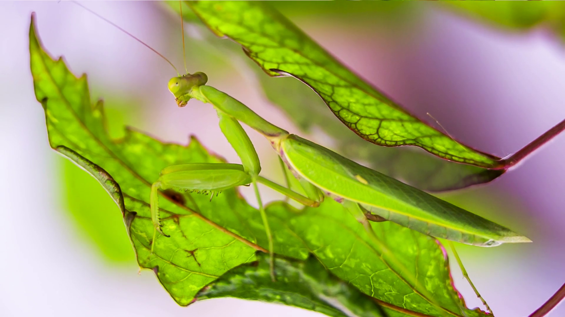 close-up-in-the-frame-there-is-a-moveless-praying-mantis-pretending-to-be-a-green-leaf-while-process-of-hunting-on-blurred-background_saijyivke_thumbnail-full01