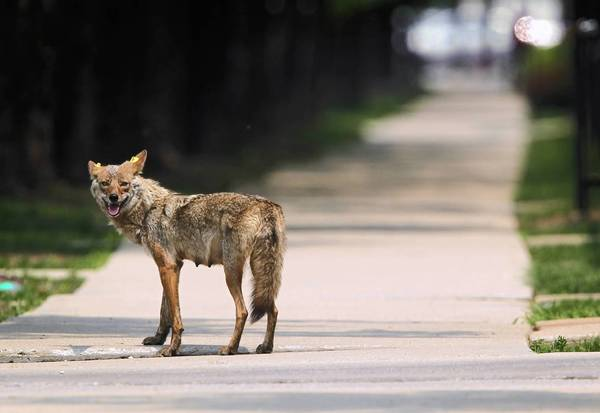 ct-ct-tl-coyote07.jpg-20130213