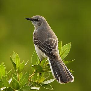multi_mockingbird